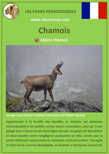 fiche animaux pédagogiques des montagnes francaises chamois