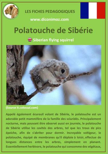 fiche animaux polatouche de siberie taille poids habitat longevite repartition comportement