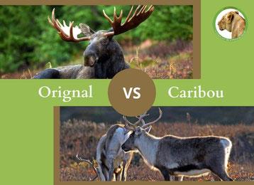 ne confondez plus l'orignal et le caribou elan et renne