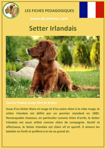 fiche chien pdf race setter irlandais comportement origine caractere soin poil