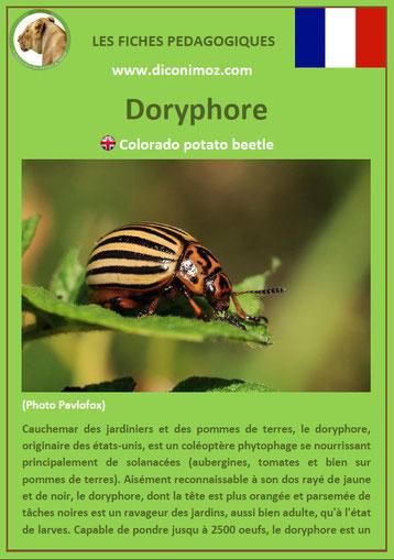 fiche animaux pdf insecte doryphore à telecharger et a imprimer
