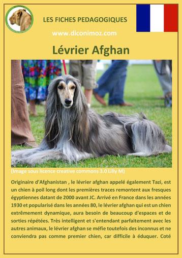 fiche chien pdf race levrier afghan comportement origine caractere soin poil