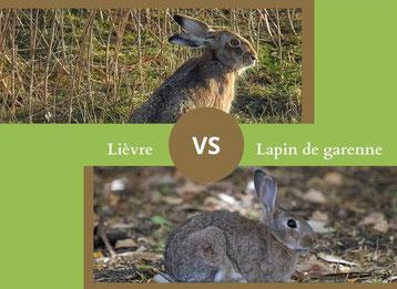 ne confondez plus le lievre et le lapin de garenne