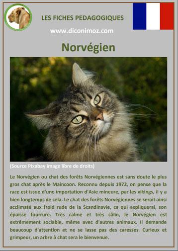 fiche chat race norvegien forets de norvege origine comportement caractere poil sante