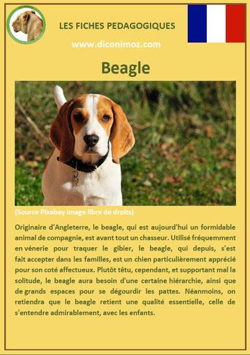 fiche chien pdf pedagogique beagle origine caractere comportement