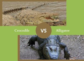 crocodile vs alligator ne plus confondre