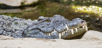 crocodile vs alligator confondre