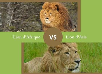 ne confondez plus le lion d'afrique et le le lion d'asie