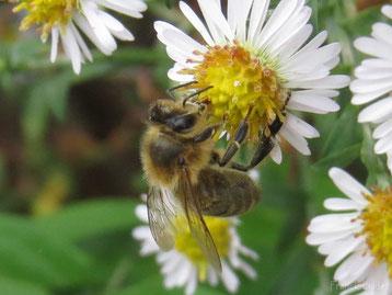 fiche animaux abeille contre guepe insectes reconnaitre