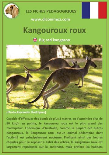 fiche animaux australie pdf kangourou roux a telecharger et a imprimer