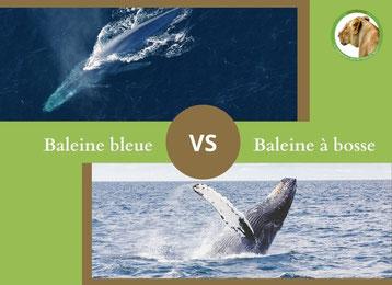 ne confondez plus la baleine bleue et la baleine a bosse