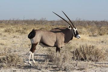 fiche animaux oryx gazelle vs oryx algazelle