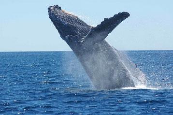 chant cri baleine