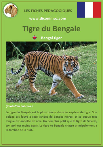 fiche animaux pdf felins tigre du bengale a telecharger et a imprimer