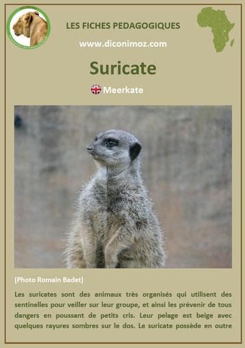 fiche animaux afrique suricate a telecharger et a imprimer