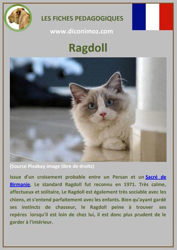 fiche chat race ragdoll comportement origine caractere poil sante