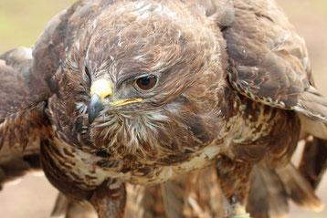 buse variable fiche oiseaux rapaces animaux