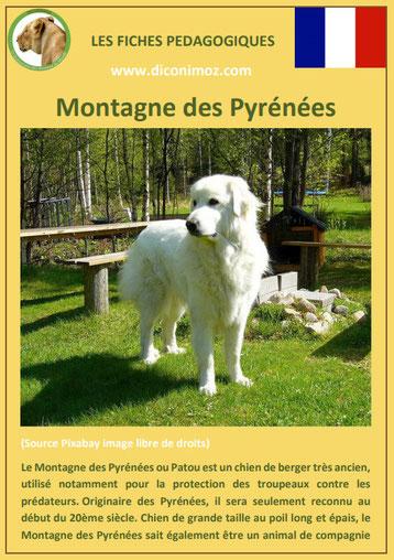 fiche chien race montagne des pyrenees patou caractere origine comportement poil sante