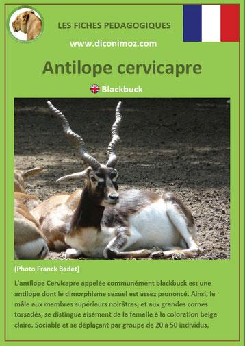 fiche animaux pdf asie antilope cervicapre à telecharger et a imprime