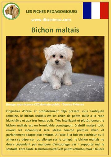 fiche chien pdf bichon maltais caractere origine comportement poil