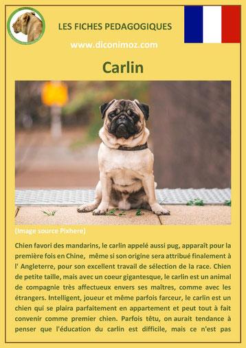 fiche race chien pdf carlin comportement origine caractere poil sante