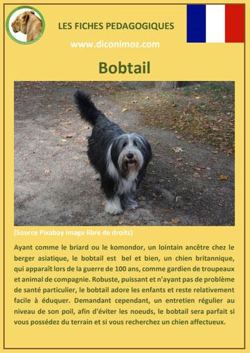 fiche chien pdf bobtail caractere origine comportement poil