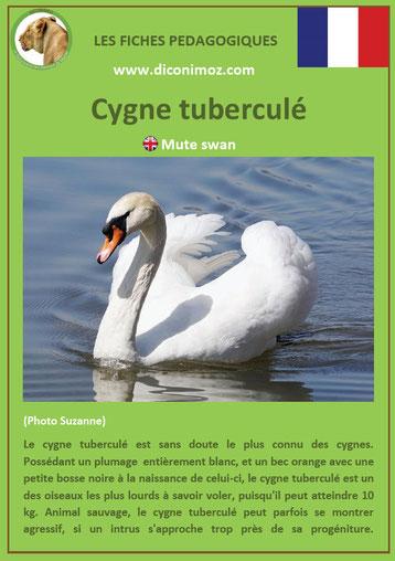 fiche animaux pdf oiseaux cygne tuberculé à telecharger et a imprimer