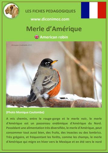 fiche animaux pdf merle amerique comportement taille poids habitat longevite alimentation