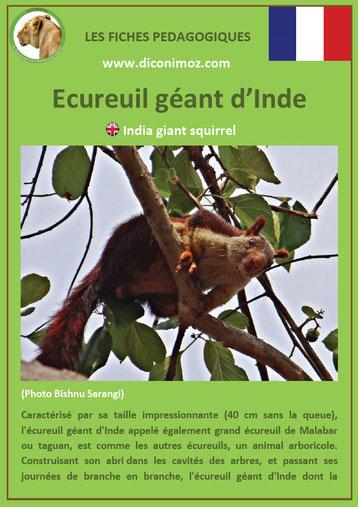 fiche animaux ecureuil geant inde taille poids habitat longevite repartition comportement