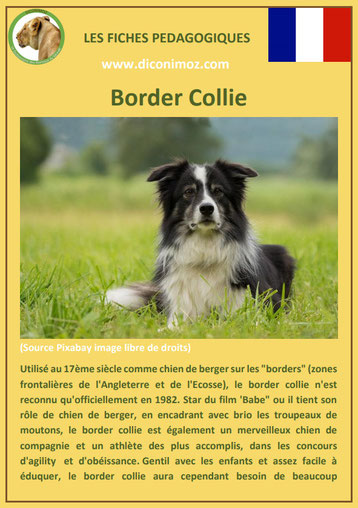 fiche chien pdf border collie caractere origine comportement poil