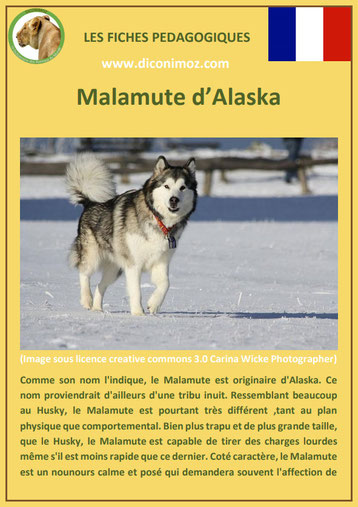 fiche chien race malamute alaska caractere origine comportement poil sante