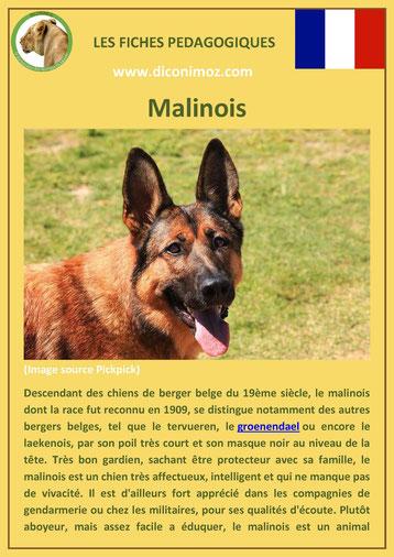 fiche chien pdf race berger belge malinois comportement origine caractere soin poil