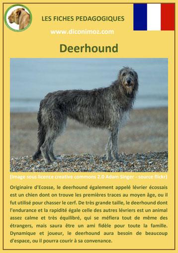 fiche chien pdf deerhound origine caractere comportement poil