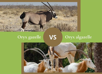 ne confondez plus l'oryx gazelle et l'oryx algazelle