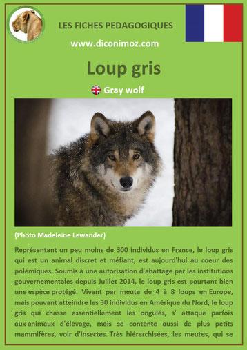 fiche animaux pédagogiques des montagnes francaises loup gris