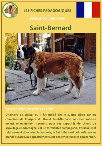 fiche chien race saint bernard caractere origine comportement poil sante