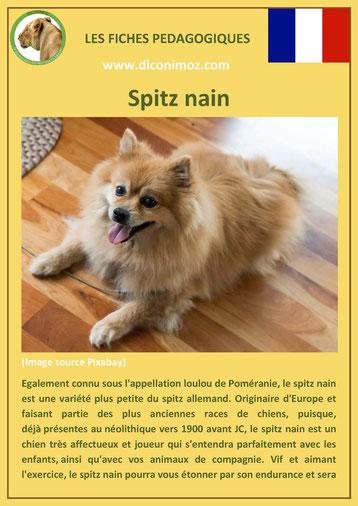 fiche chien pdf race sitz nain loulou de pomeranie comportement origine caractere soin poil