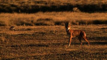 Rencontre avec un loup d'Abyssinie