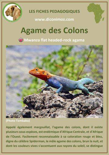 fiche animaux pdf afrique agame des colons habitat poids taille repartition alimentation reproduction comportement