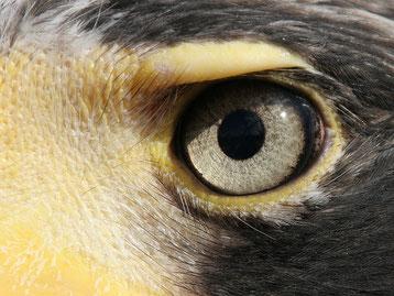 oeil oiseau jeu animaux