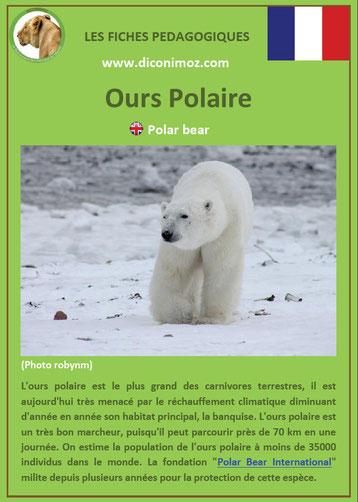 fiche animaux pdf ours polaire ursides
