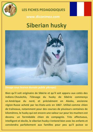 fiche race chien pdf siberian husky comportement origine caractere poil sante