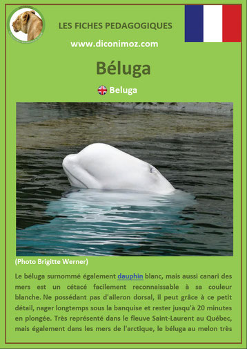 fiche animaux pdf beluga mammiferes marin a telecharger et a imprimer