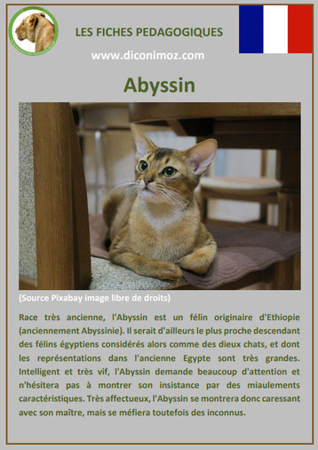 fiche animal animaux de compagnie chat abyssin comportement caractere origine