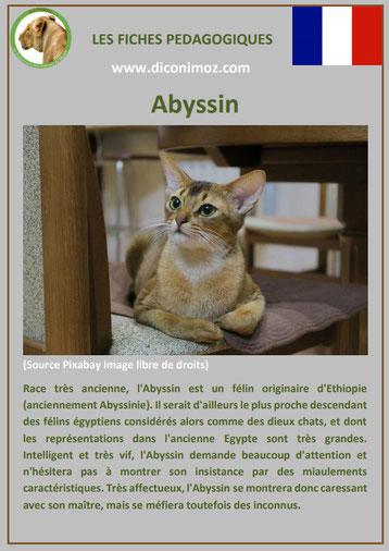 fiche animal animaux de compagnie chat abyssin comportement caractere origine