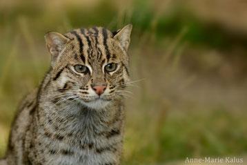 chat pecheur fiche animaux felins