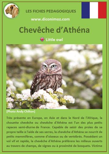 fiche animaux pdf oiseaux rapaces cheveche athena a télécharger et a imprimer
