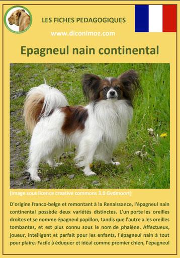 fiche chien race epagneul nain continental phalene papillon caractere origine comportement poil sante