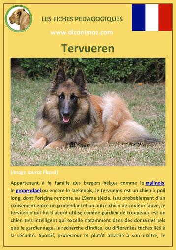 fiche chien pdf race berger belge tervueren comportement origine caractere soin poil