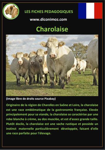 fiche animaux ferme vache charolaise origine caractere comportement robe race
